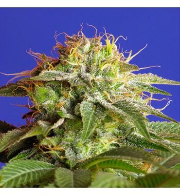 Green Poison . fem. Sweet Seeds